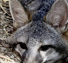 091102 Gray Fox Juvenile 89