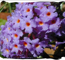 Lavendar Butterfly Bush