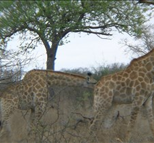 Ivory Lodge & Safari Pictures0083