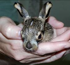 061604 Jack rabbit baby 49
