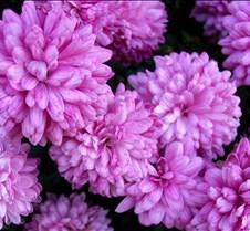 purple_mums