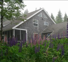 Lupine and Shore side of home