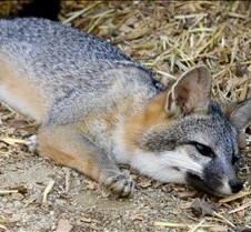 091102 Gray Fox Juvenile 96