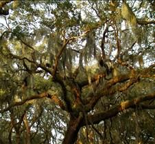 Sapel island tree b