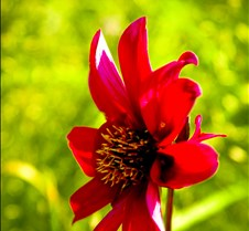 Red Hot Fire Flower