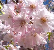 pinkfloweringtree1