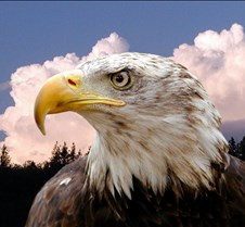 102903 Bald Eagle Defiance 85b