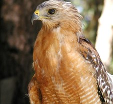 091703 Red Shouldered Hawk 179