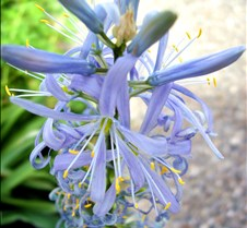 unidentified blue flowers 3