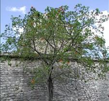 Blooming Tree at Chitzen Itza