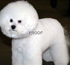 Bichon Frise6