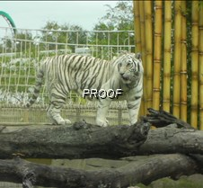 April 27, 2009 white tigers at Bush Gardens