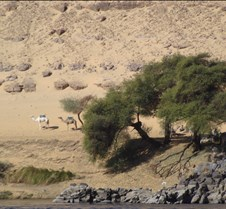 Camels on shore, Aswan
