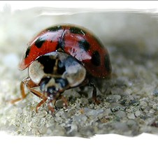Lady Bug Edged