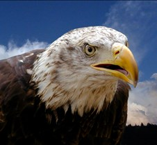 102903 Bald Eagle Defiance 82b