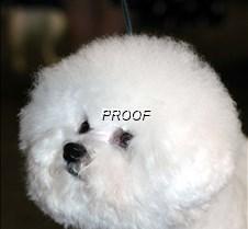 Bichon Frise4