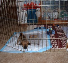 Peanut in the playpen