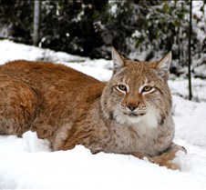 010204 Eurasian Lynx Nikki 92