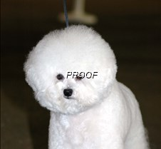 Bichon Frise 11