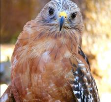 101703 Red Shouldered Hawk 189