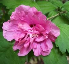 pinkroseofsharon