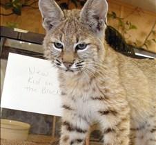090402 Bobcat Kitten 81