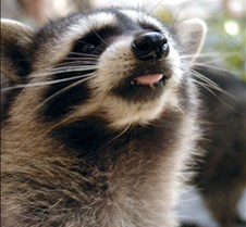 100303 Raccoon Juv 74