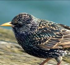 starling10