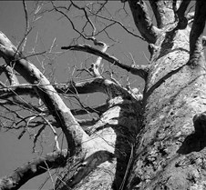 The Big Tree B&W