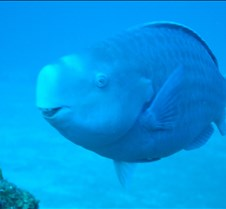 A parrottfish