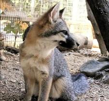 091102 Gray Fox Juvenile 80