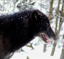 010204 Wolves Tundra 45