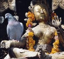 Nepal - pigeon2