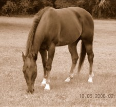Haidas Magic Playboy Magic- 6yr old QH geding