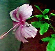 Pink Shoe flower