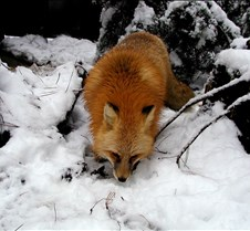 010204 Red Fox Winona 81