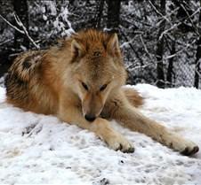 010204 Wolves Spirit 61