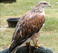 062802 Ferruginous Hawk 44