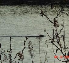 38.Beaver in Jack lake