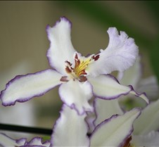 Big Island Orchid Varieties 5