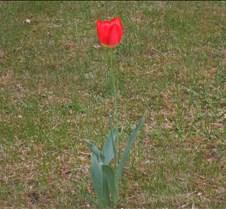 Lonely Tulip