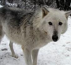 010204 Wolves Tsar 39