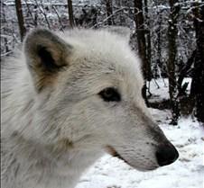 010204 Wolves Tsar 75