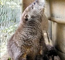 062602 River Otter Juvenile 34