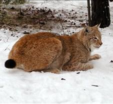 010204 Eurasian Lynx Nikki 115