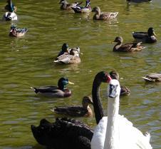 102302 Swans 37