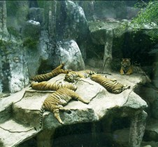 Tigers Sleeping