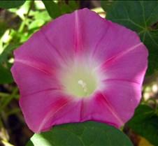 pinkmorningglory