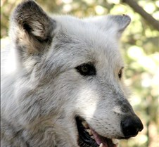 100902 Wolf Tsar 147