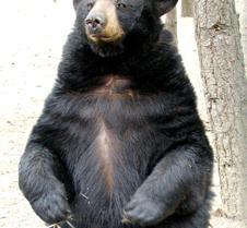 062802 Black Bear Janie55